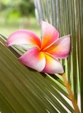 Plumeria on the coconut leaf Stock Photos