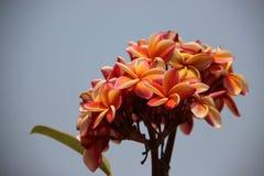Plumeria colorido de florescência com Gray Sky fotos de stock