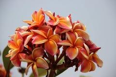 Plumeria colorido de florescência com Gray Sky foto de stock