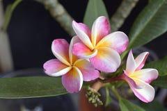Plumeria colorido em meu jardim na luz do sol Fotos de Stock Royalty Free