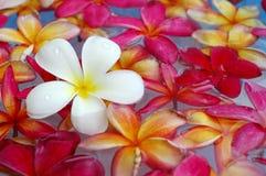 Plumeria colorido en la piscina Imagen de archivo libre de regalías