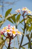 Plumeria. Colourful flower in Thailand Stock Photography