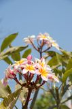 Plumeria. Colourful flower, Tropical flower in Thailand Stock Photo