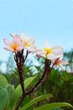Plumeria com céu azul Fotografia de Stock