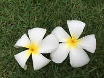Plumeria Royalty Free Stock Photos