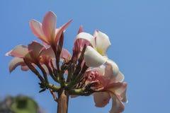 Plumeria con el cielo azul Foto de archivo