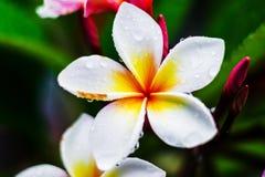 Plumeria con la gota de agua después de la lluvia imagenes de archivo