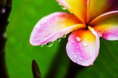 Plumeria con la gota de agua después de la lluvia fotografía de archivo