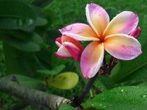 Plumeria cor-de-rosa Imagem de Stock Royalty Free