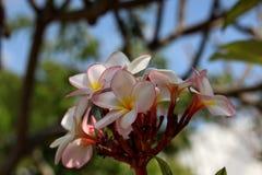 Plumeria cor-de-rosa Fotos de Stock