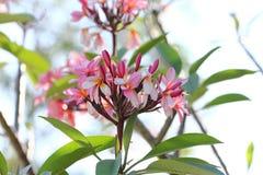 Plumeria cor-de-rosa Foto de Stock