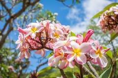 Plumeria cor-de-rosa, AKA frangipani Foto de Stock