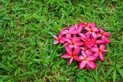 Plumeria cor-de-rosa na grama Fotografia de Stock Royalty Free