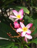 Plumeria cor-de-rosa vermelho do botão do Frangipani e da flor completa Imagens de Stock Royalty Free