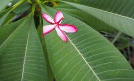 Plumeria cor-de-rosa vermelho murchado do Frangipani e da gota na folha Imagens de Stock Royalty Free