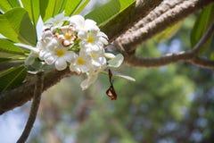 Plumeria d'arbre Image libre de droits