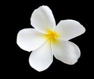 Plumeria d'isolement sur le fond noir Espèces de Plumeria fleurit le frangipani Photo stock