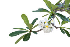 Plumeria da árvore, Frangipani, árvore de templo, árvore do cemitério, branca Imagem de Stock Royalty Free