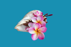 Plumeria da flor ou frangipany cor-de-rosa no shell do búzio do mar Fotografia de Stock