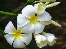 Plumeria de Frangipani Image stock