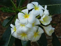 Plumeria de Frangipani Photo stock