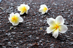 Plumeria de Frangipani sur le fond noir de sol Photographie stock libre de droits