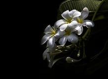 Plumeria de la flor Imagen de archivo
