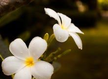 Plumeria de las flores blancas con gota de lluvia Imagen de archivo