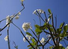 Plumeria de las flores blancas en rama de árbol tropical Fotos de archivo