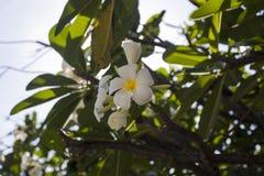 Plumeria de las flores blancas en rama de árbol tropical Imagen de archivo