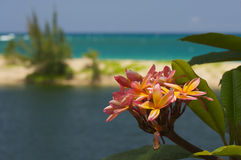 Plumeria del color de rosa salvaje y del amarillo Foto de archivo