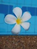 Plumeria del Frangipani en piscina Foto de archivo libre de regalías