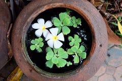Plumeria di bianco del fiore Fotografia Stock