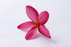 Plumeria di Leelavadee del fiore Fotografie Stock Libere da Diritti