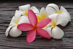 Plumeria di Leelavadee del fiore Immagine Stock