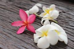 Plumeria di Leelavadee del fiore Immagini Stock