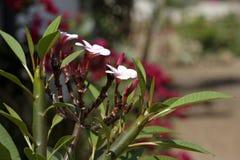 Plumeria drzewo Zdjęcia Royalty Free