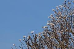 Plumeria drzewo Obrazy Royalty Free