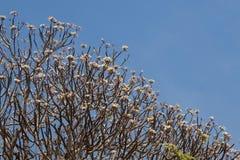 Plumeria drzewo Zdjęcie Royalty Free
