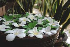 Plumeria e Pistia brancos no potenciômetro do jardim da água Imagem de Stock