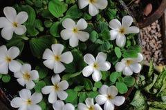 Plumeria e Pistia brancos no potenciômetro do jardim da água Foto de Stock
