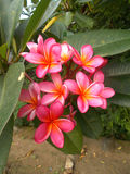 Plumeria eller frangipani Arkivfoto