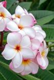 Plumeria eller frangipanien blommar på träd Royaltyfri Foto