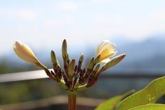 Plumeria em Tailândia Fotografia de Stock Royalty Free