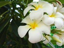 Plumeria en el árbol del plumeria Fotos de archivo libres de regalías