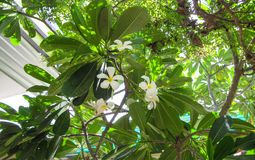 Plumeria en el jardín Fotos de archivo libres de regalías