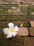 Plumeria en el ladrillo con el musgo Foto de archivo libre de regalías