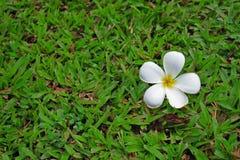Plumeria en hierba Imagen de archivo libre de regalías