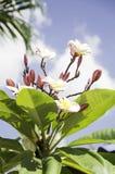 Plumeria en Thaïlande Photographie stock libre de droits