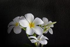 Plumeria encantador hermoso de la flor blanca del aislante Fotos de archivo libres de regalías